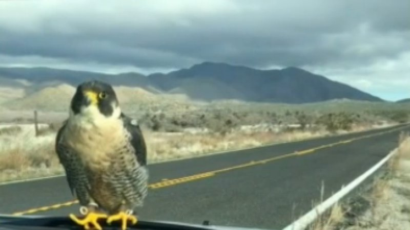 Falcon hitches ride on man's windshield in SoCal desert