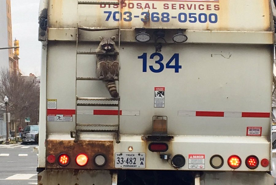 Chill raccoon hitches a ride on a garbage truck, steals some hearts, remains unfazed