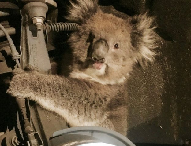 Koala survives 10-mile (16 km) ride clinging to the underside of a 4x4