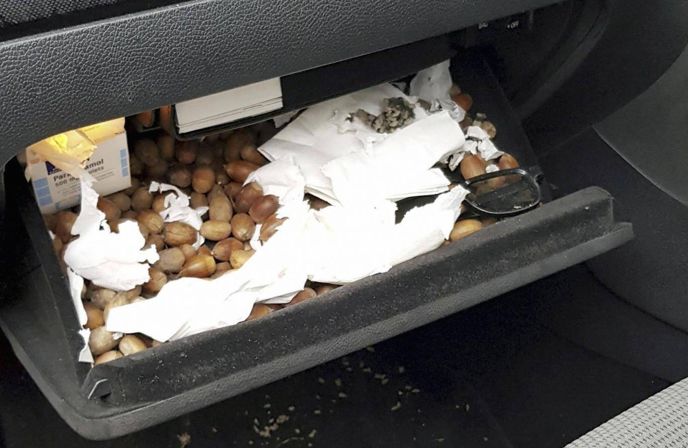 'Squirrel squatters' go nuts in man's car