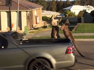 Australian Road Rage: Kangaroos Caught Boxing in Front of a Ute