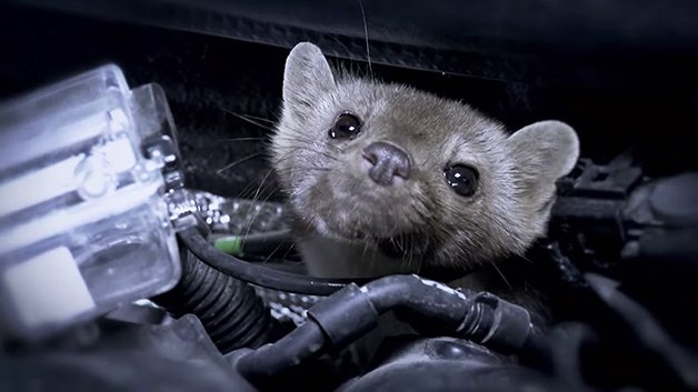 Audi Wiring Cars With Cameras to See How Ferret-Like Creatures Tear Them Apart