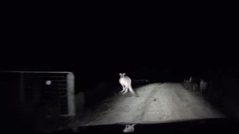 Kangaroo Gives Driver The Scare Of His Life