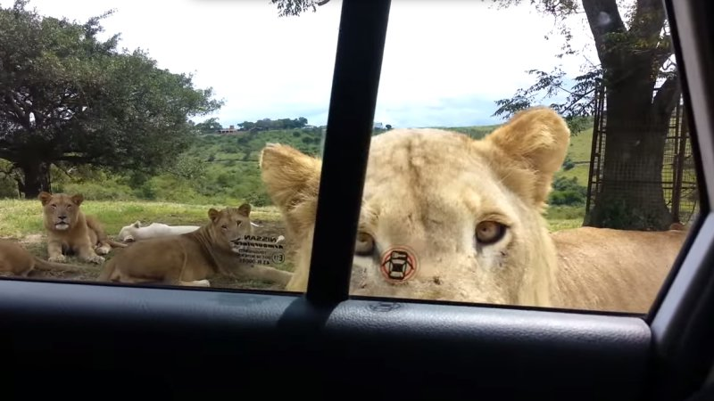 Lion Reminds Tourists to Always Lock Car Doors in Safari Parks