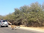 Video of the Day: Antelope Saved from Chases In Tourist's Car on Safari
