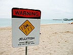 Alert Jellyfish on the Beach in Belle Mare