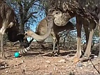 Video of the Day: Emus and Ostriches vs. Weasel Ball