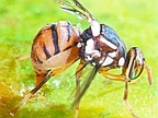 Agriculture: Mauritius Feared an Attack of Fruit Flies