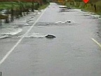 Salmon Swim Across Flooded Road in Washington