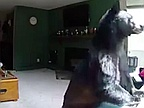 Chill bear breaks into family home to play their piano