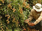 Litchi: Production Of More Than 3 000 Tonnes Expected