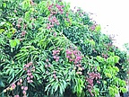 Lychees: Harvest And Export Will Increase For 2012