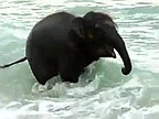 Video of the Day: Baby Elephant Sees Sea for the First Time