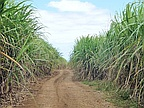 Crisis in Sugar Industry: Unions and MSPA Remain Entrenched in Their Positions