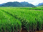 Rice 'Made in Mauritius' on the Local Market Soon