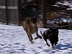 Video of the Day: Cheetah and Dog Playing in the Snow