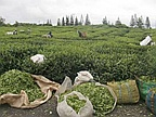Agricultural Sector: The Tea