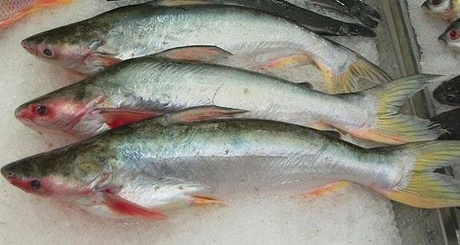 Controversial fish pangasius reintroduced on the market for What is pangasius fish