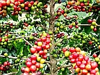 Local Products: Rodrigues's Coffee Promises Bright Future