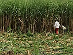 Mauritius's Sugar Cane Growers Bend but Don't Break