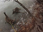 Video of the Day: 3 Helpless Deer on Ice Rescued by Hovercraft