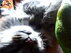 Video of the Day: Parrot Trolling a Kitten