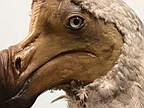 Dodo Extinction Came Later Than Previously Thought, 17th Century Observations Suggest